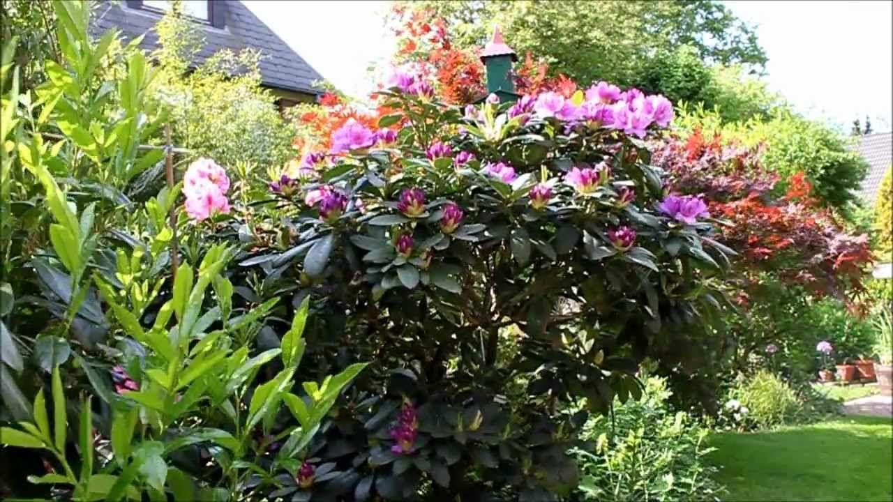Wer einen #Rhododendron im #Garten hat, wird jedes Jahr aufs Neue, mit großen farbenprächtigen…