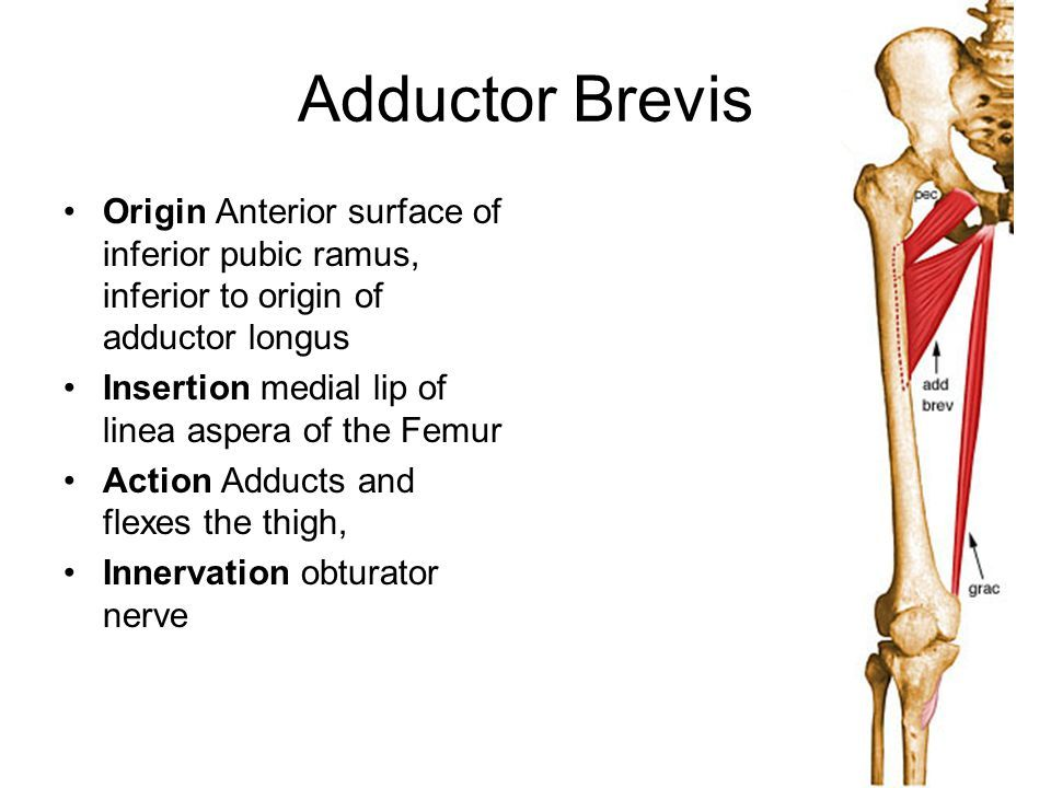 Adductor Brevis Origin And Insertion Google Search Fitness