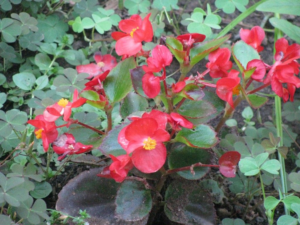 Annual Begonia Plants Have Many Uses In The Summer Garden And Beyond Their Care Is Relatively Simple When One Properly Learns How Annual Plants Begonia Plants