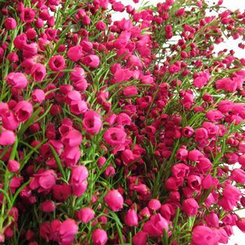 Boronia Heather Flower Bright Pink Fiftyflowers Com Heather Flower Flowers Spring Flowers