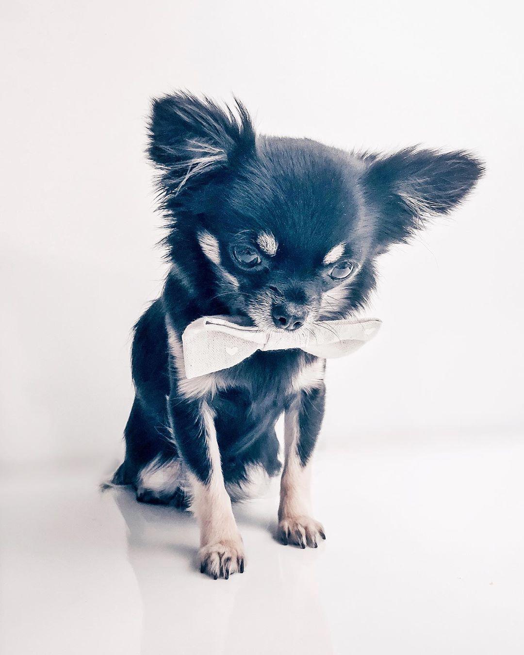 Chihuahua Kai Chihuahua Kai Cute Chihuahua Black Dog Day Chihuahua Puppies