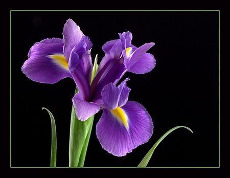 Royal Purple Iris Desktop Nexus Wallpapers Purple Iris Flowers Iris Flowers Purple Iris