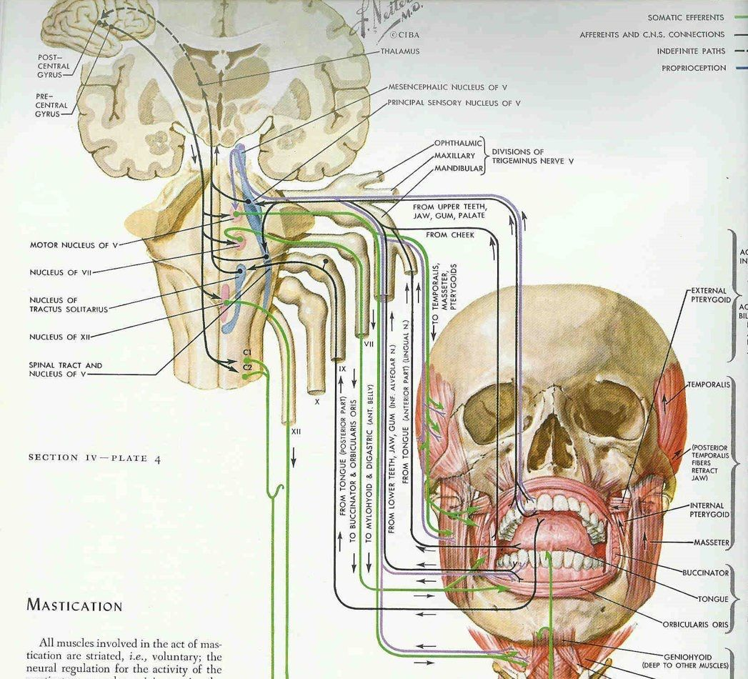 How amazingly complex is the management of jaw movements.   Dental ...