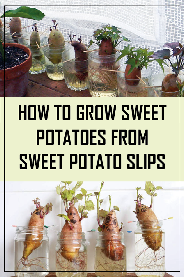 How to Grow Sweet Potatoes from Sweet Potato Slips #growingpotatoes