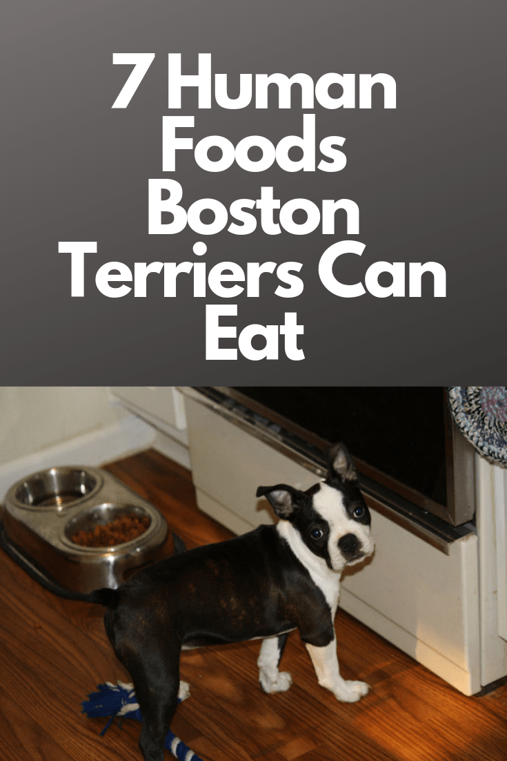 Human Foods Boston Terriers Can And Can T Eat Boston Terrier Funny Boston Terrier Puppy Human Food