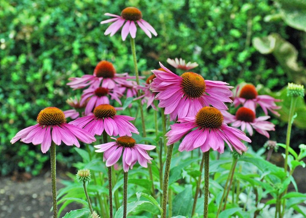 A Native To The Eastern U S Purple Coneflowers Are Found In Many Flower Gardens Planting Purple Coneflower In The Zinnia Flowers Annual Plants Flower Garden