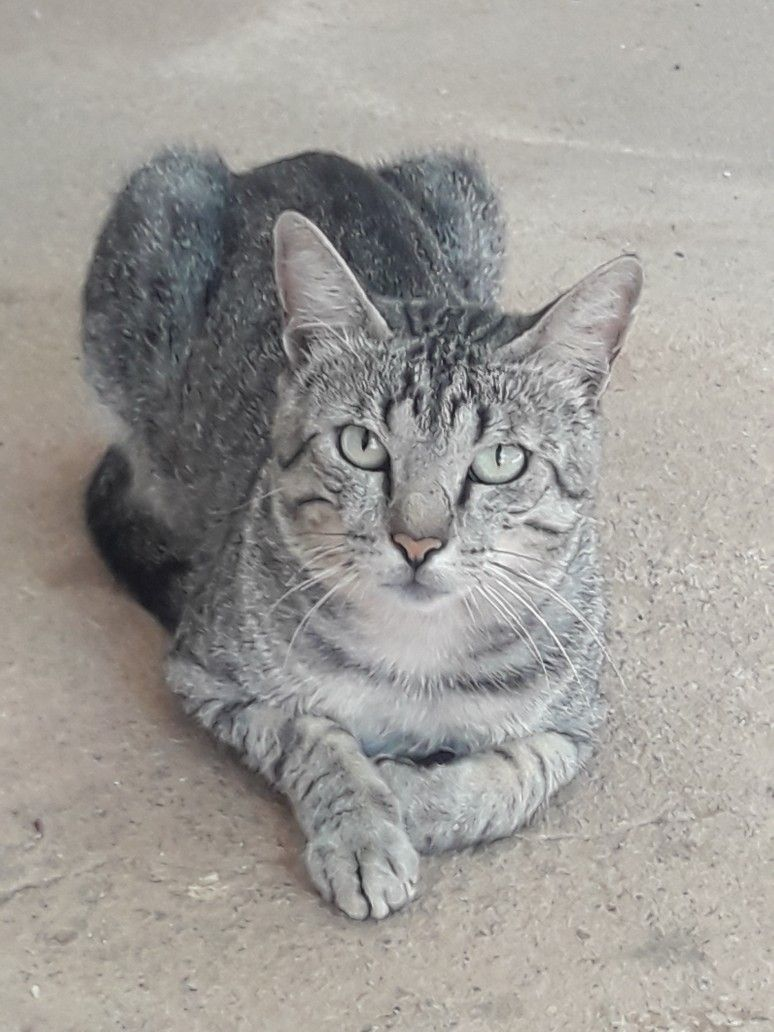 Silver Gray Tabby Cat Tabbycat Grey Tabby Cats Kittens Cutest