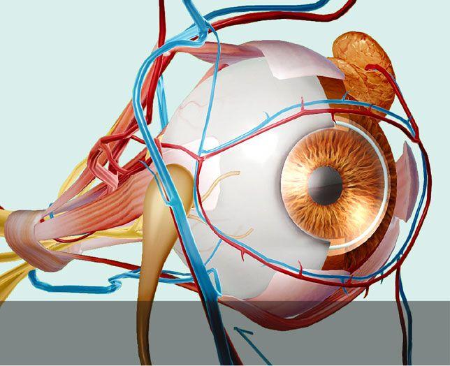 Visible Body 3d Human Anatomy Globo Ocular Muestra De Manera