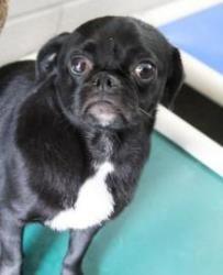 Adopt Precious Housebroken On So Freakin Cute Dogs Pugs Pets