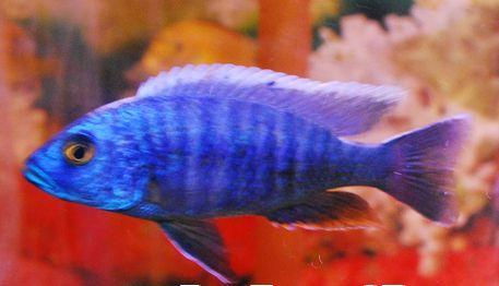ELECTRIC BLUE CICHLID (Sciaenochromis fryeri), $14.99 (http://www.petzonesd.com/electric-blue-cichlid-sciaenochromis-fryeri/)