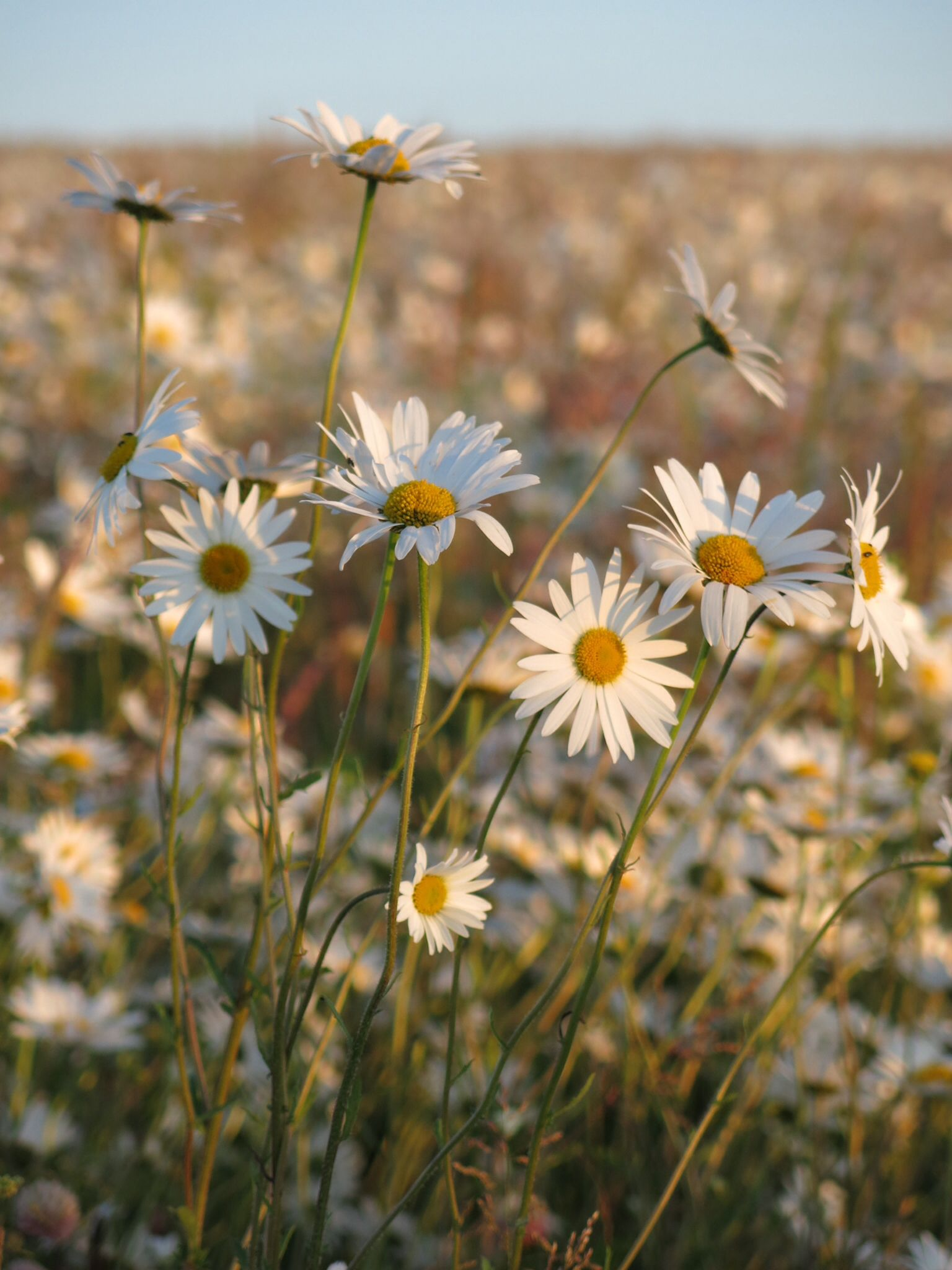 Daisy field near me at sunset Where to buy flowers