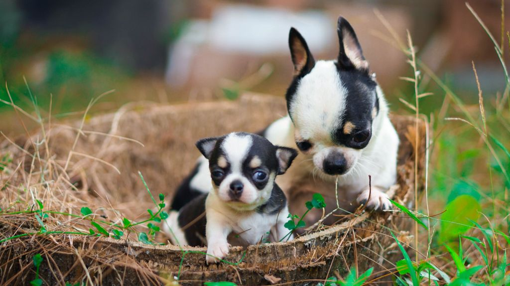 Chihuahua Indonesia By Rio Farm Bandung Jual Chihuahua Kualitas