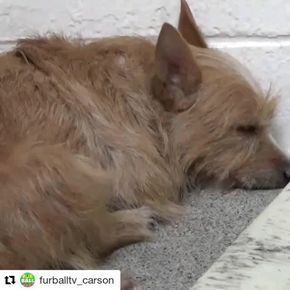 Please Adopt Or Foster Cindee Id A5124268 From Carson Shelter 216 W Victoria St Gardena Ca 90248 Phone 310 523 Cute Animal Photos Dog Adoption Gardena