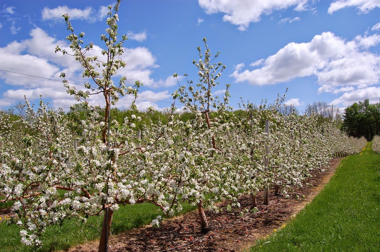 Rockburn Orchards in bloom!