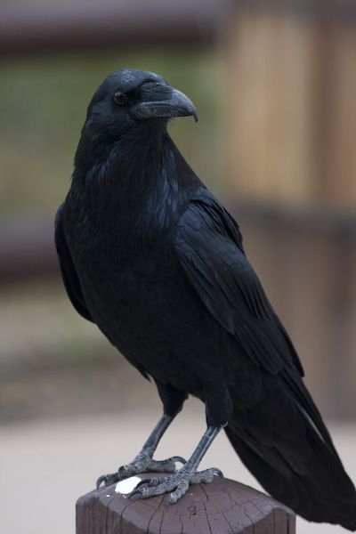raven on fence - Google Search