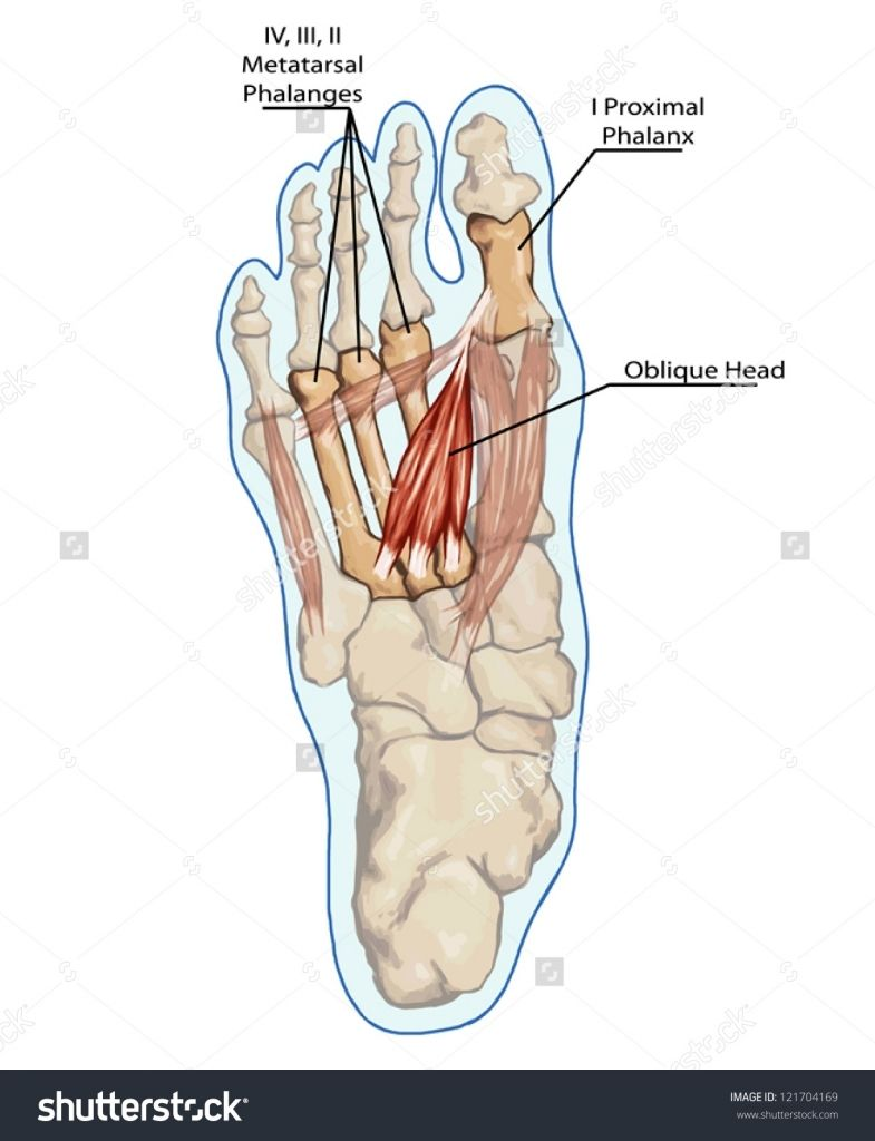Anatomy of leg and foot oblique head anatomy of leg and foot human anatomy of leg and foot oblique head anatomy of leg and foot human muscular and bones pooptronica