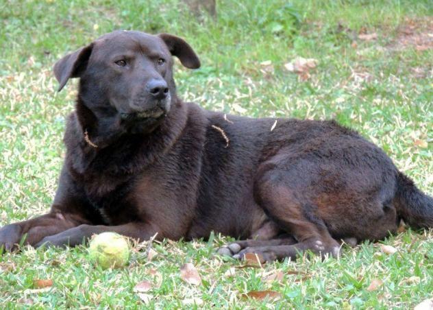 Adopt Nolie On Labrador Retriever Dogs Adoption