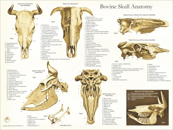 Bones Of The Bovine Skull Diagram - Schematics Wiring Diagrams •