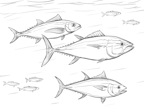 Pacific Bluefin Tuna Shoal Coloring Page Bluefin Tuna Bluefin Coloring Pages