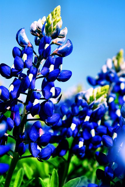 Texan Blue Bonnets 011