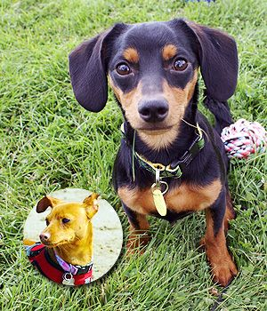 Doxie Pin Breed Info Pictures Doxie Dog Breeds Breeds
