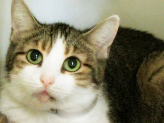 """PEPPER - A1126166 - - Manhattan  ***TO BE DESTROYED 09/27/17***   PRETTY PEPPER IS HOPING FOR A HOME OF HER OWN TONIGHT!  PEPPER and 4 housemates were brought to shelter for """"personal problems"""".  She is the second of the group to make an appearance on the nightly at risk list.  Pepper is shy and may need some time to warm up since she is confused and wondering why she lost her home.  Pepper has a cold and must exit tomorrow.  WILL YOU RESERVE THIS PRETTY GIRL BY"""