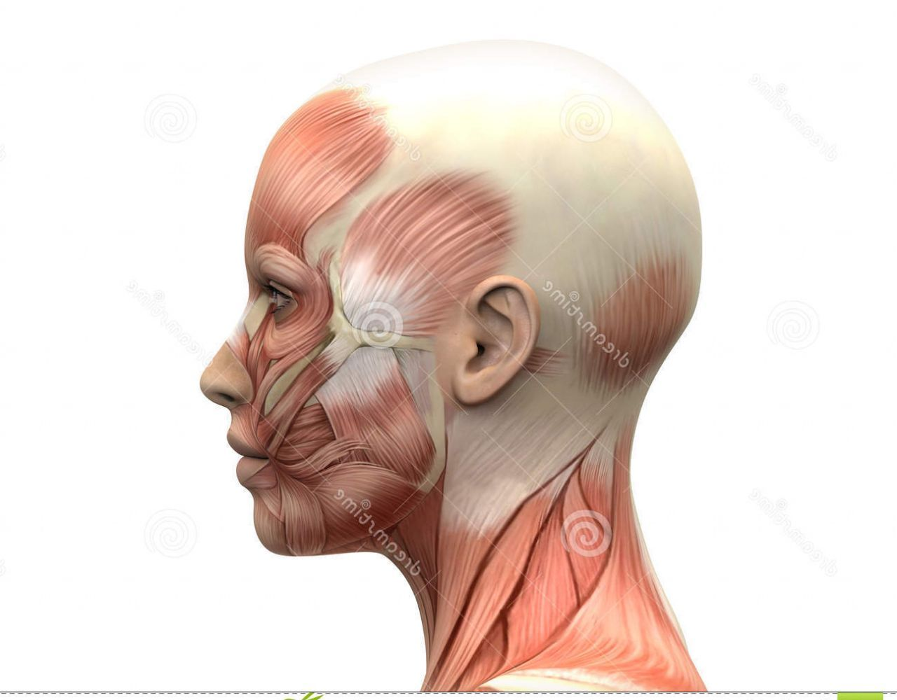 Female Head Muscles Anatomy Side View Pose Pose Pose Pinterest