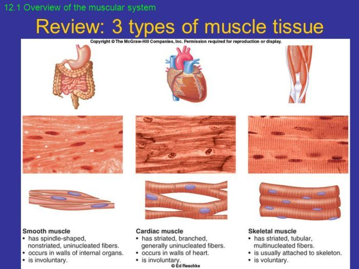 Types Of Muscle Chapter 12 Muscular System Points To Ponder What
