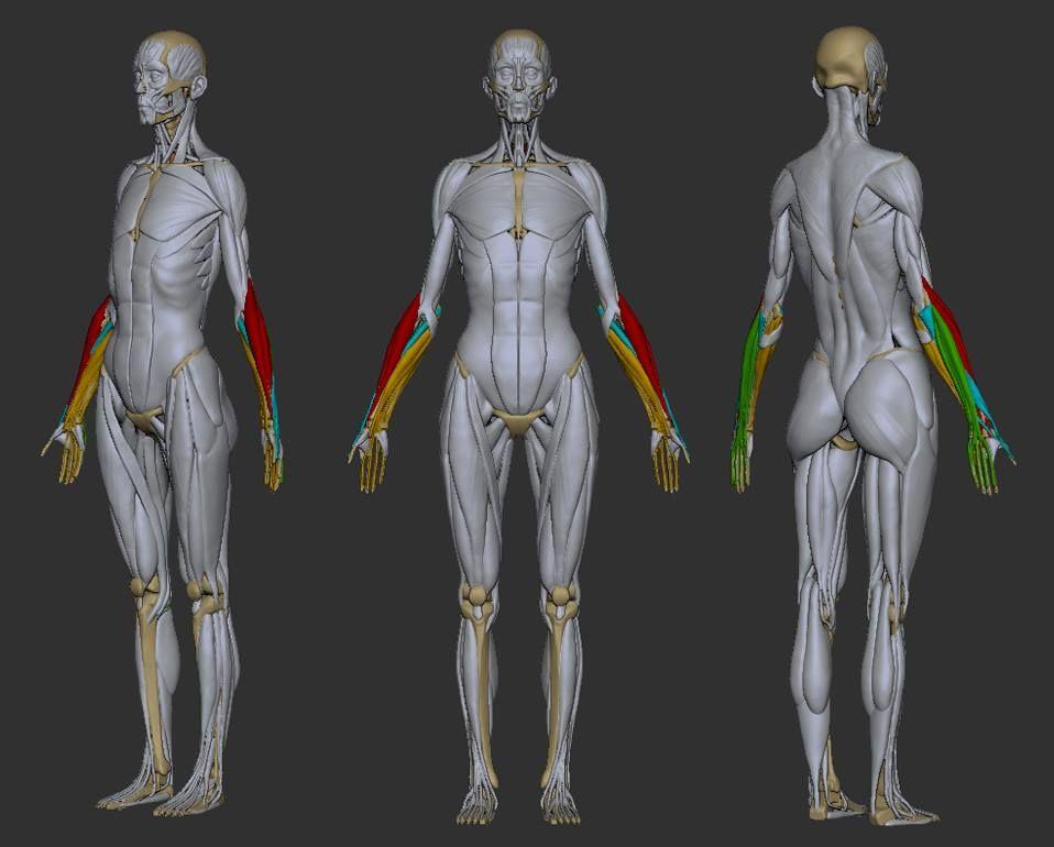 1504098_10152181311046410_1047016036_n.jpg (958×770)   Anatomy ...