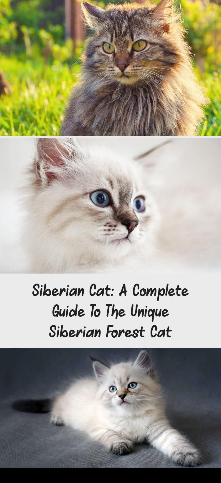 Siberian Cats A complete breed review catscuteOrange