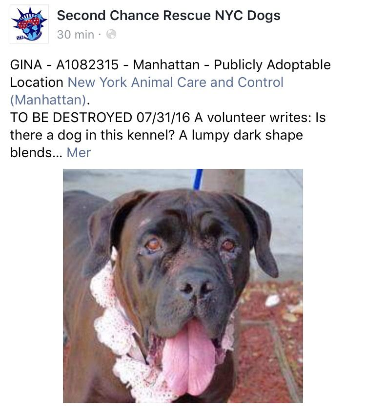 SAFE❤️❤️ 7/31/16 BY SECOND CHANCE RESCUE❤️❤️ THANK YOU ❤️❤️ Manhattan center GINA – A1082315 FEMALE, BLACK, CANE CORSO MIX, 2 yrs STRAY – STRAY WAIT, NO HOLD Reason STRAY Intake condition UNSPECIFIE Intake Date 07/23/2016, From NY 11208, DueOut Date 07/26/2016 http://nycdogs.urgentpodr.org/gina-a1082315/