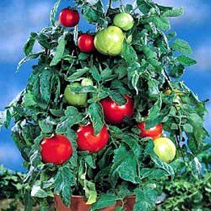 Patio Tomato Collection   4 Different Plants For Pots By Hirts: Tomato  Plants. $9.99