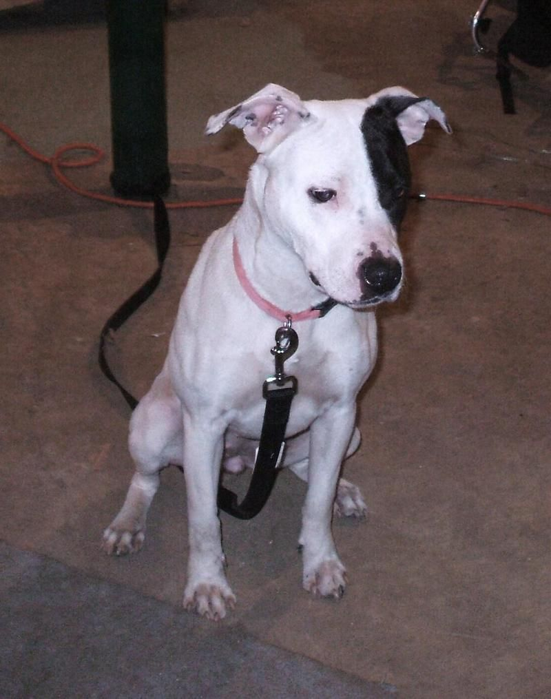 dalmatian amp american staffordshire terrier mix dog lover