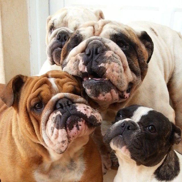 Buddies Ac Oeb Old English Bulldog French Bulldog British
