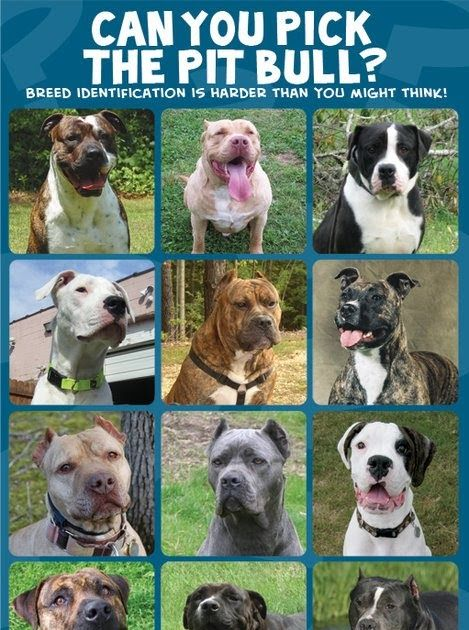 Pit Bulls Score Better On Temperament Tests Than The General Dog