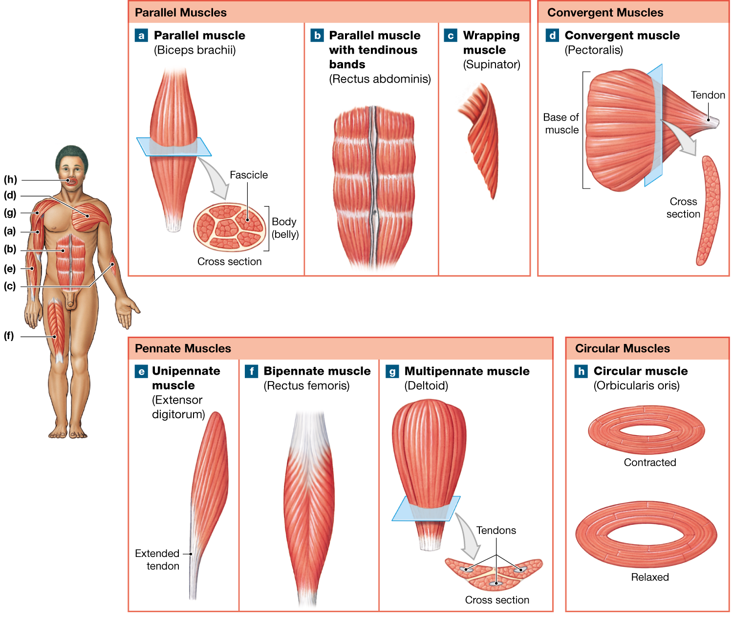 11 1 Fascicle Arrangement Is Correlated With Muscle Power