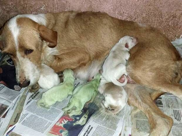 Spanish dog gives birth to bright green puppies - Weird News - News - The Independent