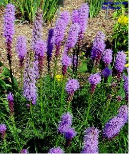 Plants Depauw University Flowers Perennials Blazing Star Flower Plants