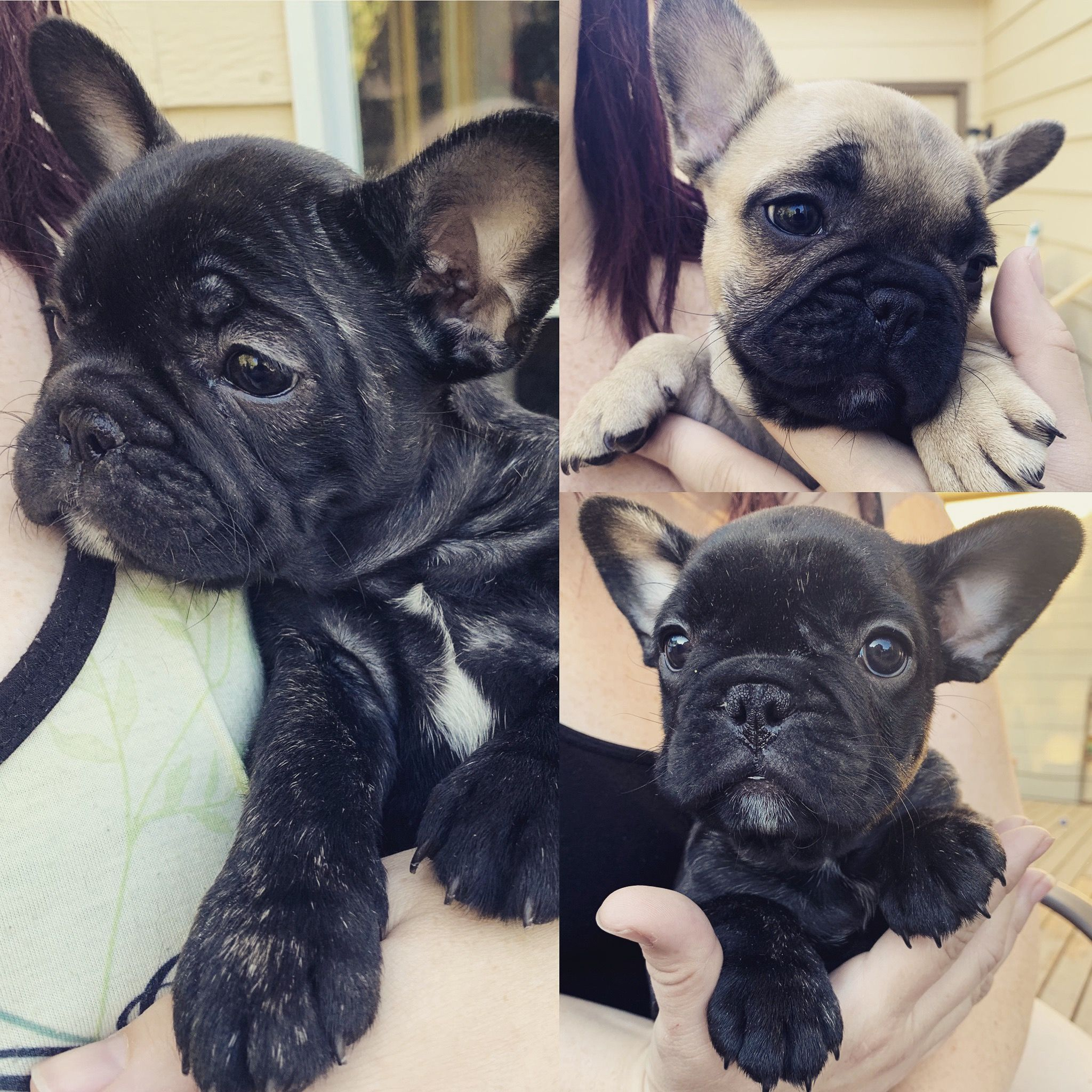 Frenchbulldog Puppies French Bulldog Frenchie Bulldog Bulldog Puppies