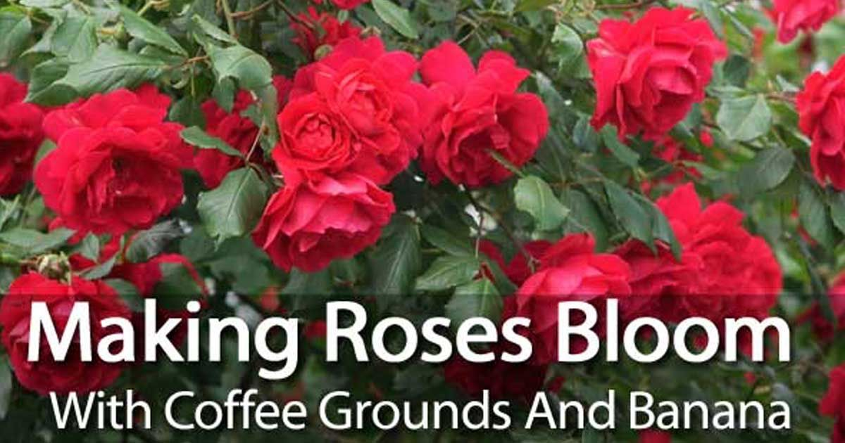 Making Roses Bloom With Coffee Grounds And Banana Planting Roses Coffee Grounds Bloom Coffee