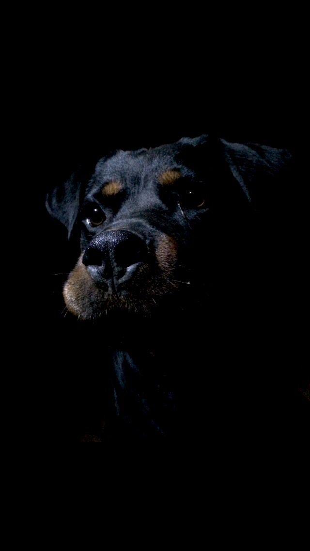 Rottweiler Dog Foto Photo Rottie Black Dog Black And Tan