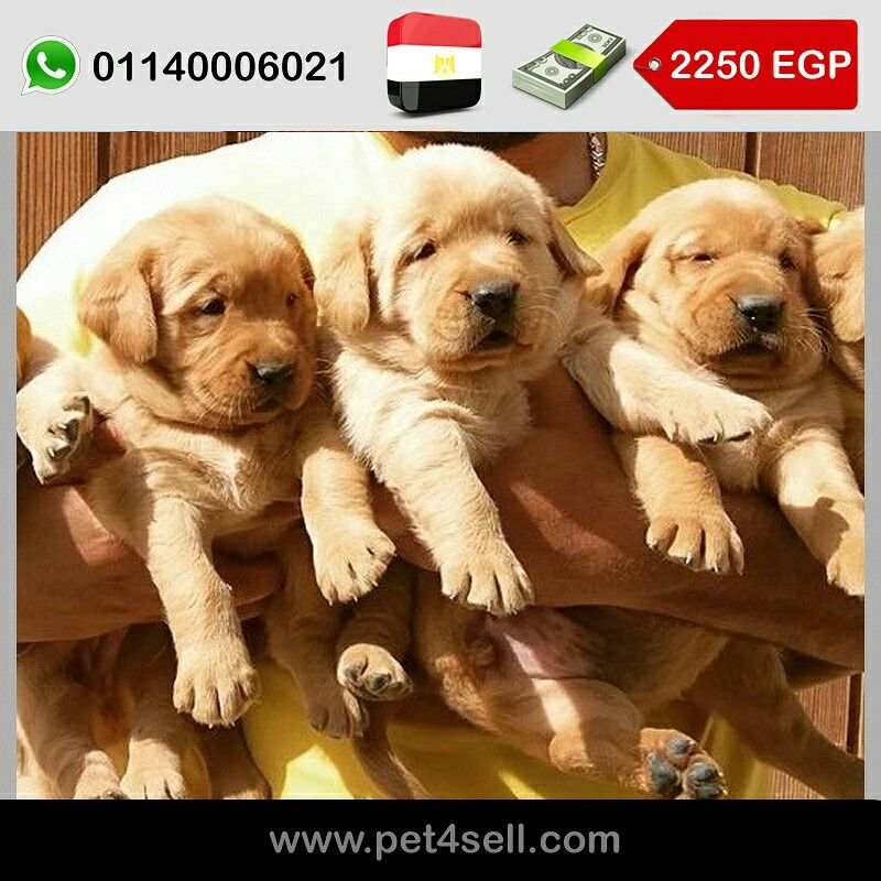Egypt Cairo 30 Days Golden Retriever Puppies For Sale Available