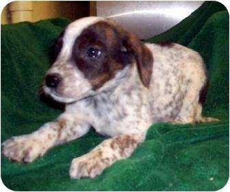 Australian Cattle Dog Beagle Mix This Is The Kind Of Dog I Want