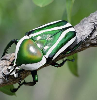 The emerald fruit chafer beetle is only one of more than 300,000 species of beetle. Up next, another impressive beetle.    Gerry Ellis/Getty Images