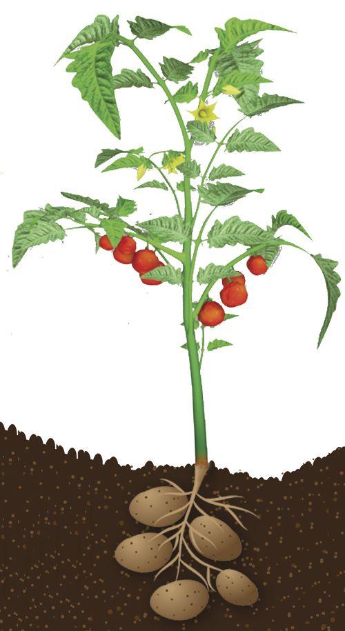 Puutarhatuotteet verkkokauppa - Perunatomaatti, samasta kasvista sekä peruna että tomaatti