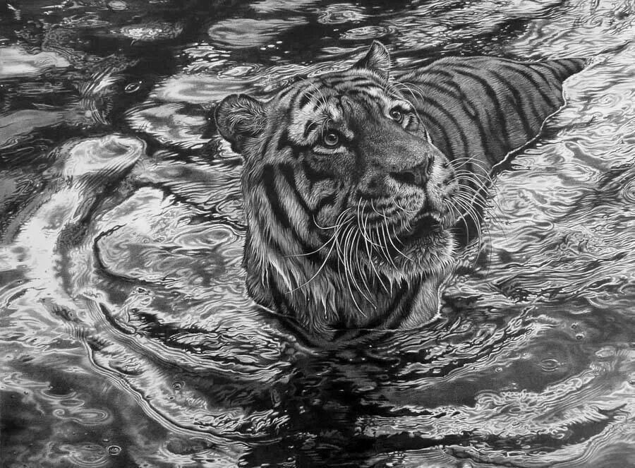 By Julia Rhodes, pencil drawing, tiger in water Animal