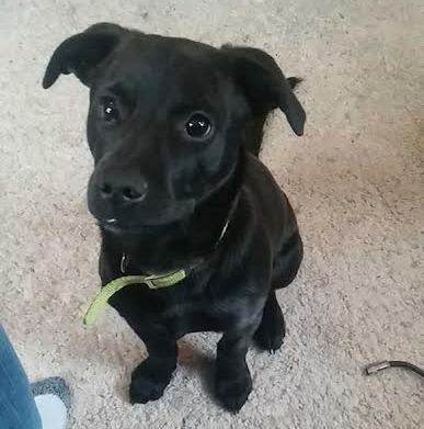 Black jack russell terrier mix – cbru | Puppies ...