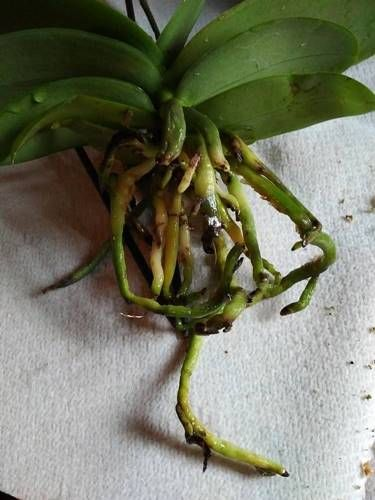 Healthy Green And Yellow Orchid Roots Orchid Roots Yellow Orchid Phalaenopsis Orchid