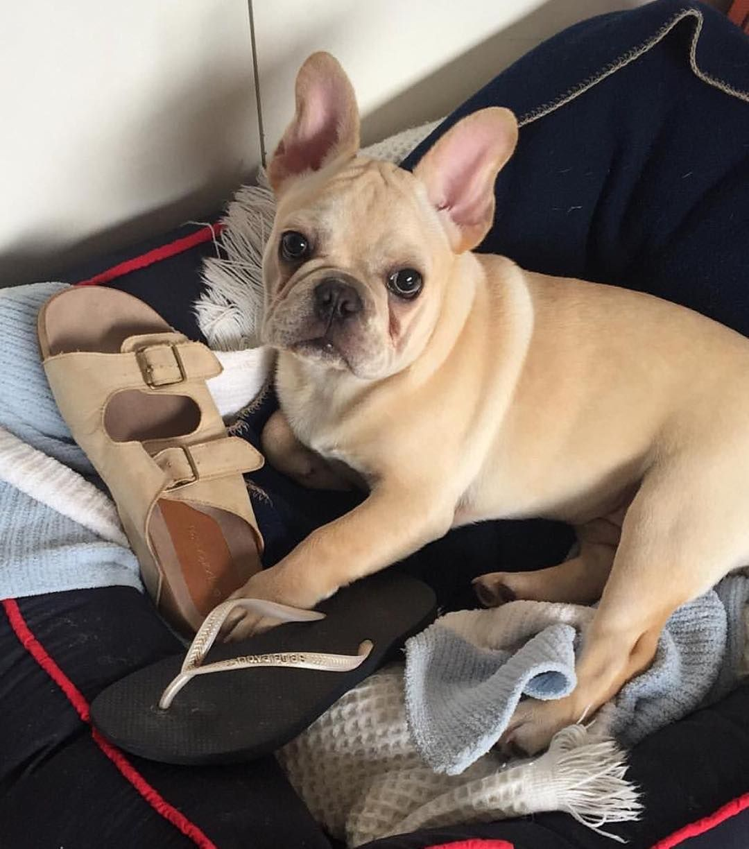 """""""It wasn't me"""" frenchie chicago dogwalking"""