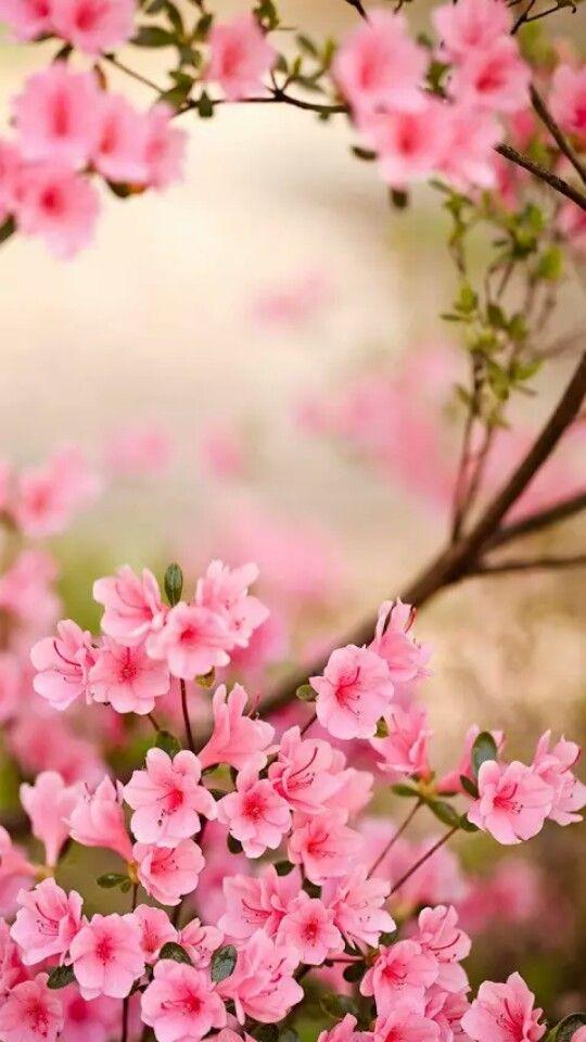 Sakura Spring Flowers Wallpaper Azalea Flower Flower Wallpaper
